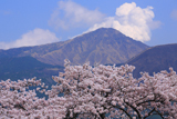 岸野の観音桜