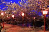小城公園の桜