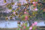大村神社の大村桜