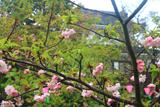 平戸二度咲き桜と乾櫓