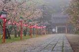 亀岡公園の桜