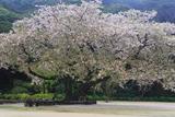 衣干の百年桜