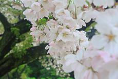 衣干百年桜