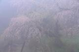 守静坊の枝垂桜