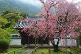 福聚寺の宗因桜