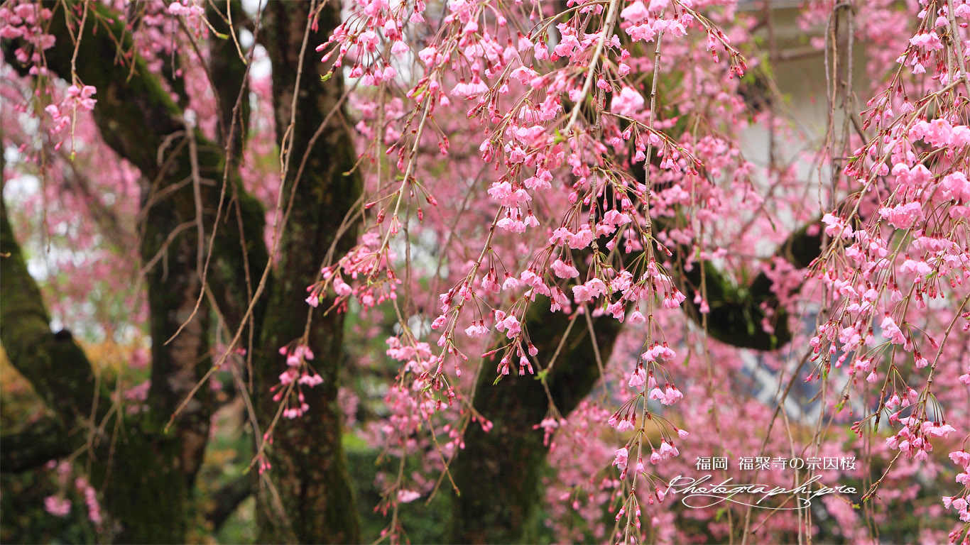 福聚寺の宗因桜 壁紙