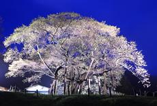 三隅大平桜