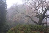 金谷の城山桜