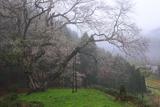 金谷城山桜