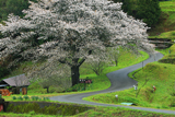 井川の一本桜