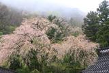 甘南備寺のしだれ桜