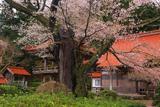 妙用寺の桜