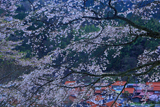 三郷町 妙用寺のしだれ桜