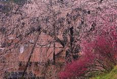 段部のしだれ桜