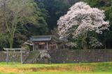 久古神社のサクラ
