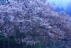 上法万の大山桜