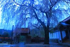 極楽寺のシダレザクラ