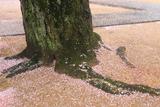 極楽寺のしだれ桜