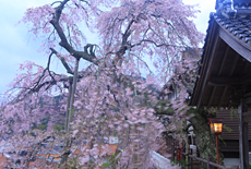 鳥取県の桜