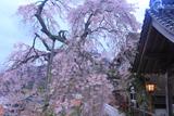 大善寺の法雲しだれ桜