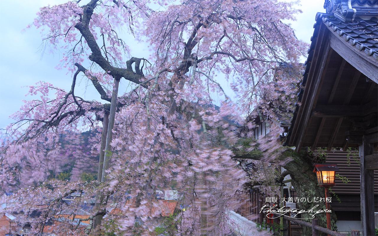 大善寺の法雲しだれ桜 壁紙