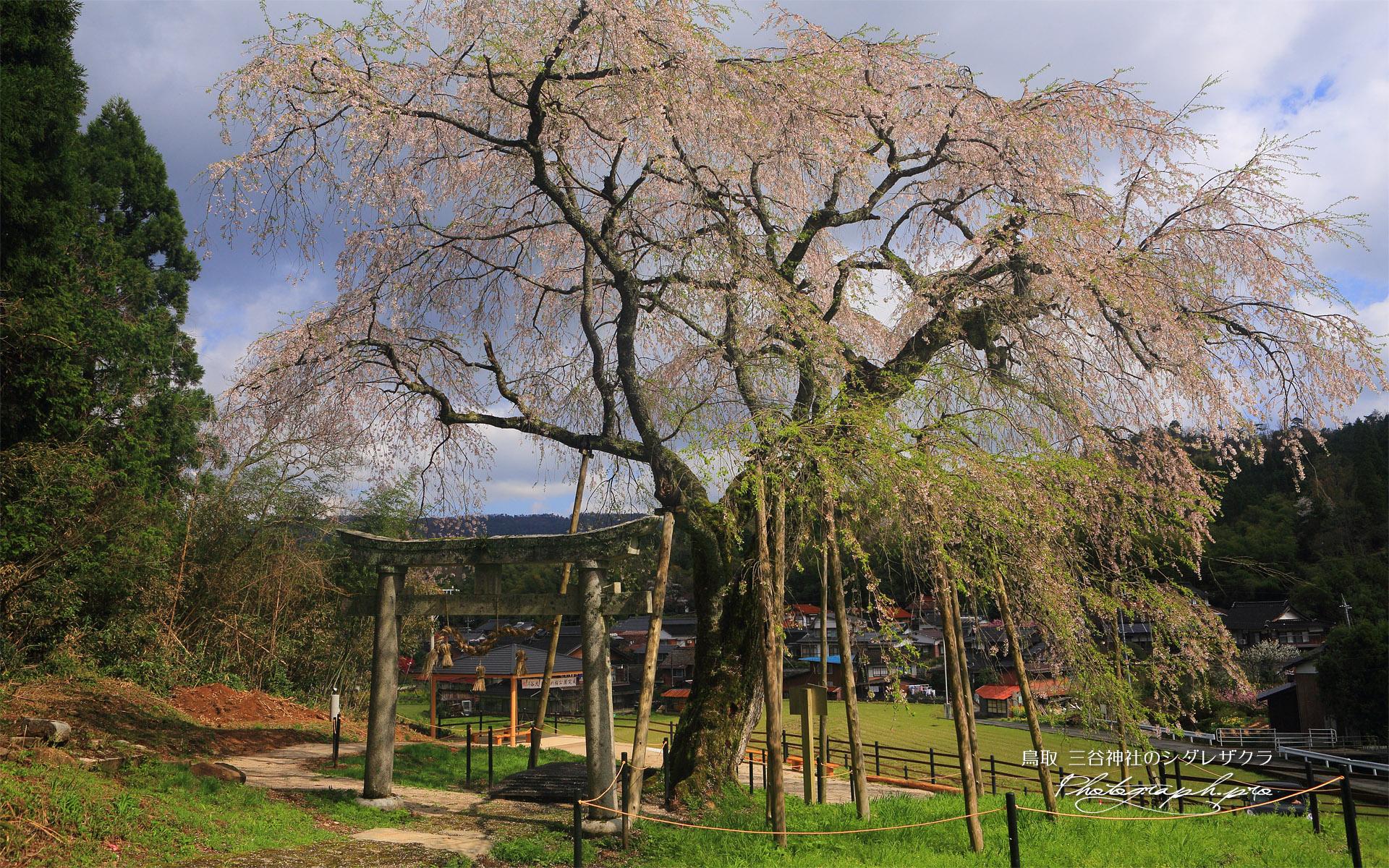三谷神社のしだれ桜