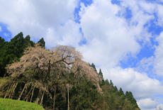 三谷神社のシダレザクラ