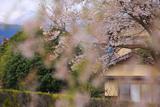 弓河内の大しだれ桜