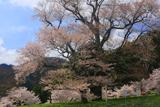 運動公園の大桜