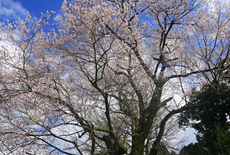 才代の大彼岸桜