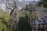 長瀬の大しだれ桜