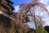 大善寺のしだれ桜