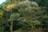 馬形の竪皮桜