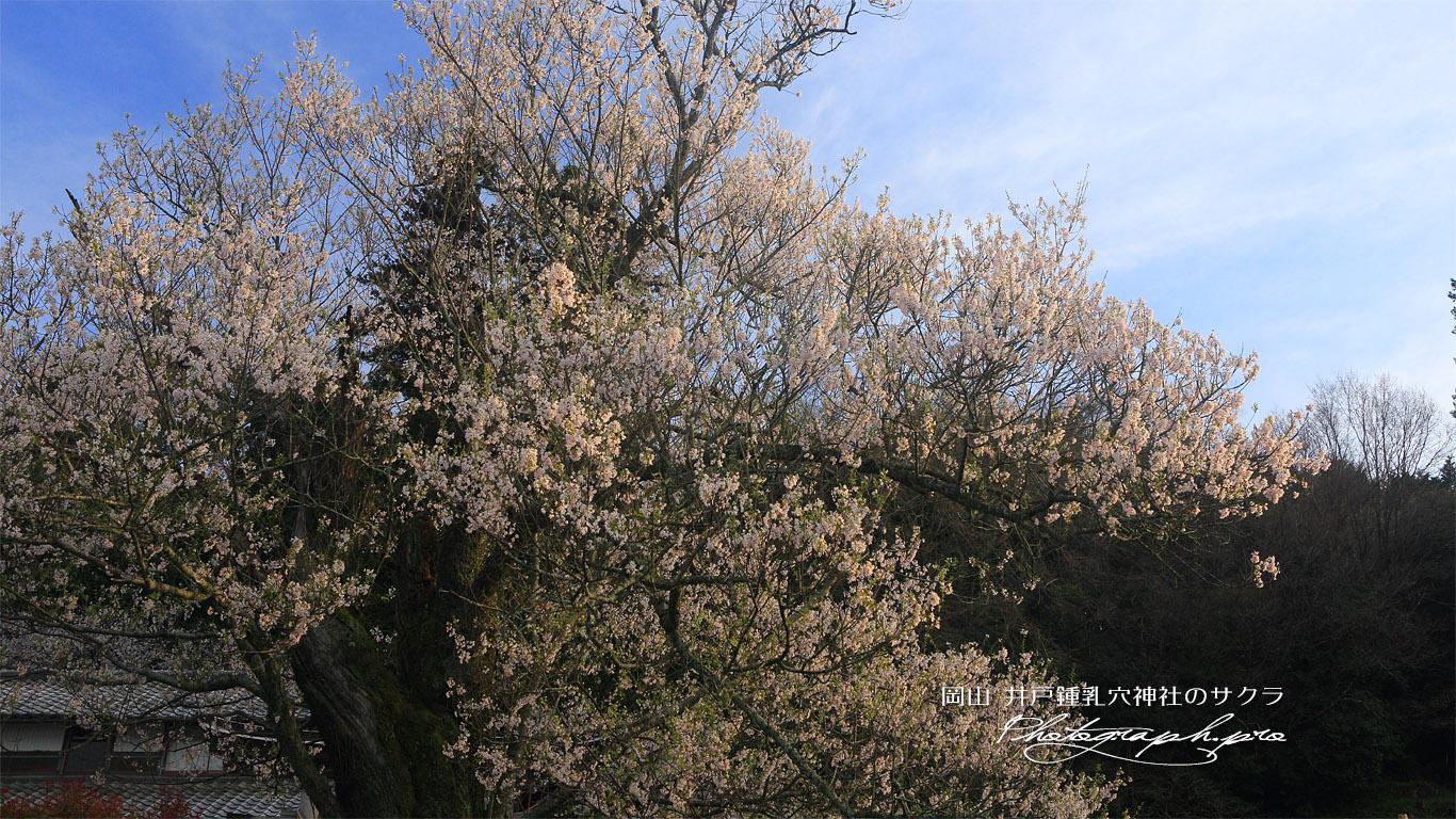 井戸鍾乳穴神社の桜 壁紙