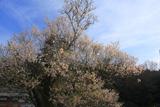 井戸鍾乳穴神社の桜