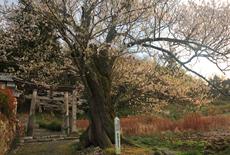 井戸鍾乳穴神社のサクラ