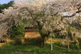 鈴尾のしだれ桜
