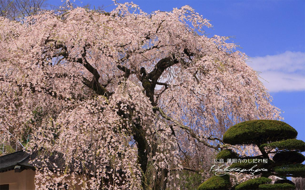蓮照寺のしだれ桜 壁紙