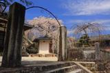 蓮照寺の枝垂れ桜