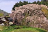 足羽家のしだれ桜