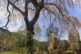 足羽家の枝垂れ桜