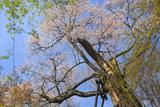 圓通寺の一本桜