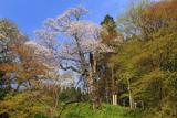 円通寺の一本桜