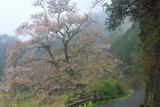 尾原の一本桜