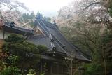 寶蔵寺のヤマザクラ