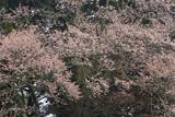 宝蔵寺のヤマザクラ