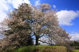 粟ヶ段の桜