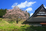 円正寺のエドヒガン