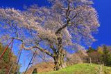 亀山城跡の要害桜