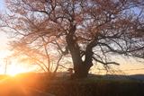 藤木のサクラ